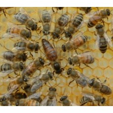 Buckfast Queen Bee ( Mated )